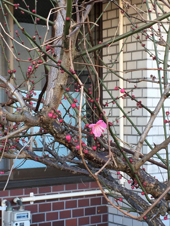 画像:事務室前の梅の花が咲きました