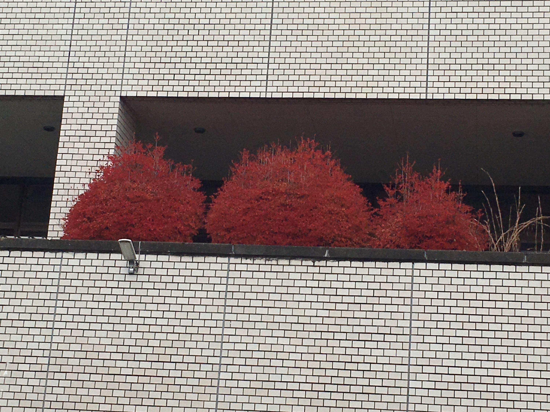 画像:ドウダンツツジの紅葉