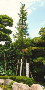 『唯信寺のコウヤマキ』の画像