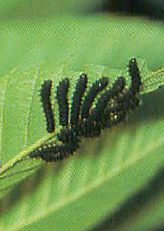 『若齢幼虫期』の画像
