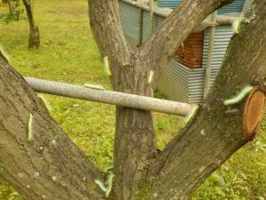 『栗の樹を移動する老齢幼虫』の画像