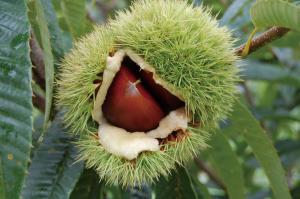 『笠間の栗「愛樹マロン」』の画像