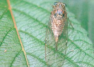 ヒメハルゼミ(雌)
