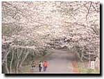愛宕山の見事な桜