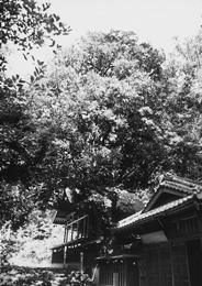 『天神社のツクバネガシ』の画像
