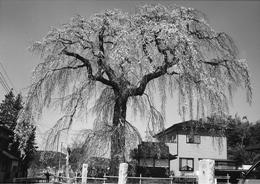 『下市毛八坂神社のしだれ桜』の画像