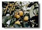 柿のバナー
